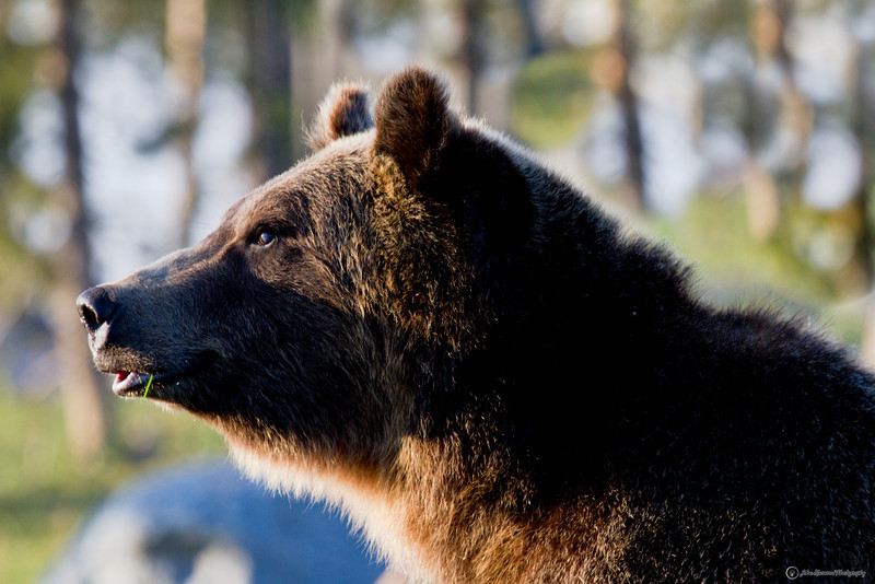 Grizzly bear with tooth pic