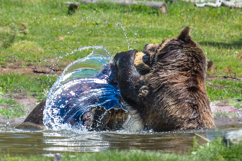 Battling Bears I