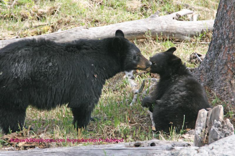 Black bear cub getting advice from Mom.