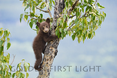 Black Bear Cub, Jasper National Park