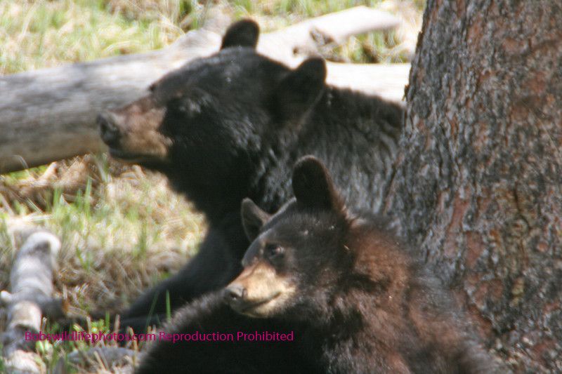 Black bear sow with cub.