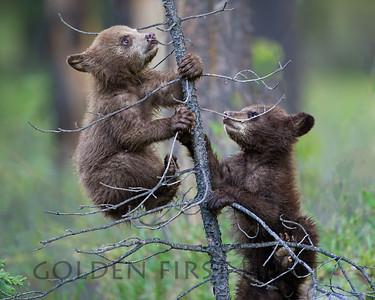 Black Bear Cubs, Jasper National Park