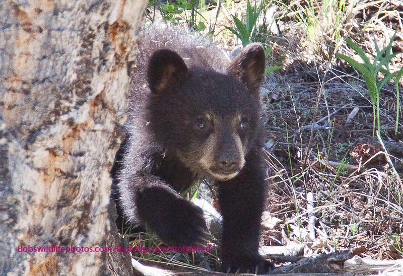 This is a close up of one of the cubs near junction butte.