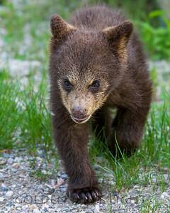 Cinnamon Black Bear Cub, Jasper National Park