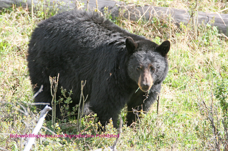 Black bear sow keeps watch. (Yellowstone Roosevelt)
