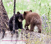 These two young black bear cubs were playing near calcite springs in Yellowstone. They are the offspring of a bear called Rosie. A couple of photos further along you can see the entire family. Two days after this photos was taken, (5-2008) Rosie was severaly injured defending the cubs from a large boar. While she survived as did the cinnimon cub, the little black cub did not.