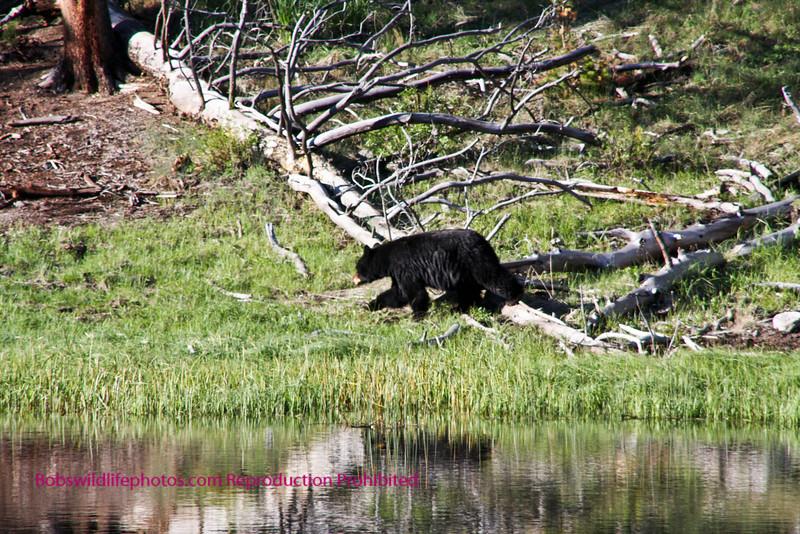 Another photo of the bear at rainy lake