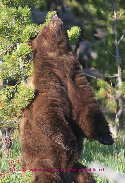 This black bear took time out for a back scratch.