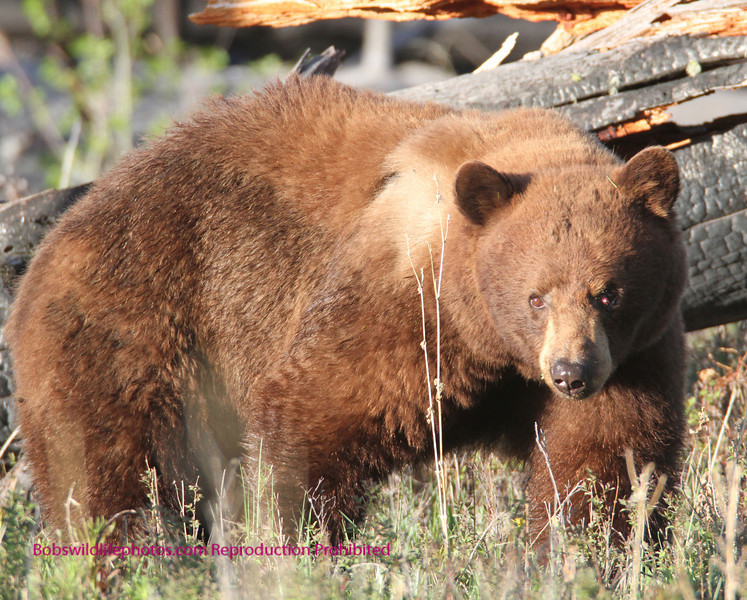 This is a large Balck Bear. He is courting the female.