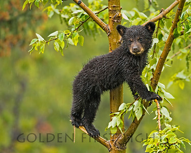 Black Bear Cub, Jasper National Bank