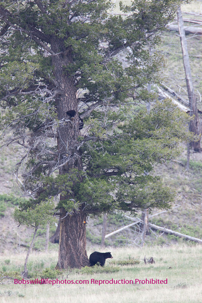 Here you can see mom checking out the area while the cubs remain in the tree. The cubs are the two black objects a little over half way up. Told you it was a long way.