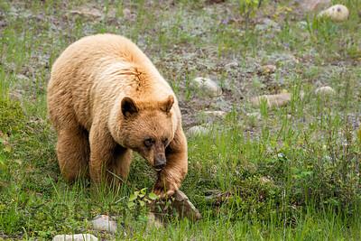 Blonde Black Bear, Jasper National Park