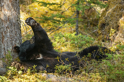 Napping Black Bear, Jasper National Park