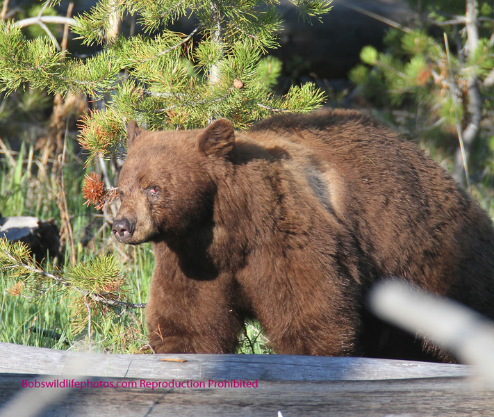 This bear lost his left eye to a stick. A ranger said that last year he saw him with the stick in his eye.