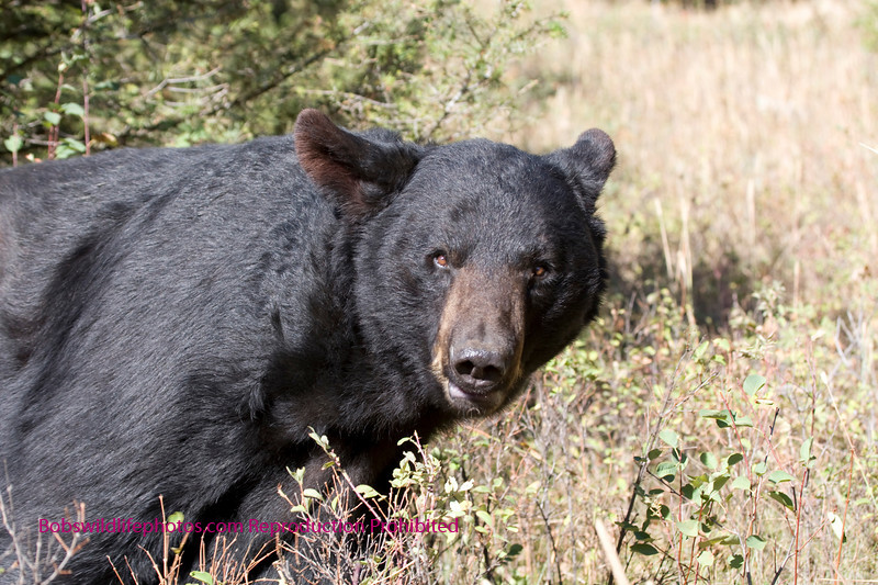 Large black bear in Montana