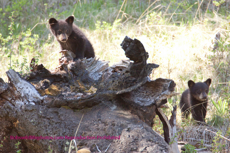 Another shot of the two black bear cubs near junction butte