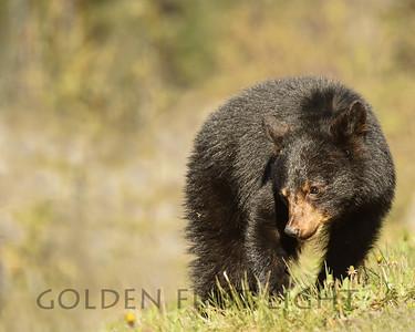 Second Year Black Bear Cub, Jasper National Park