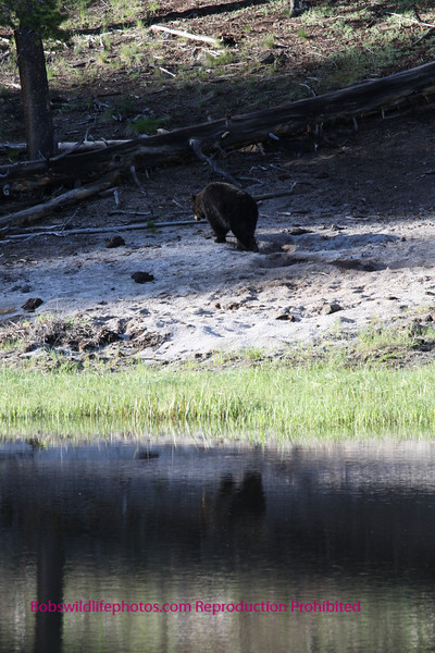 Black bear at rainy lake.