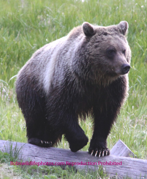 This is a young female Grizzly photographed near the Grizzly Lake trail head in YNP.