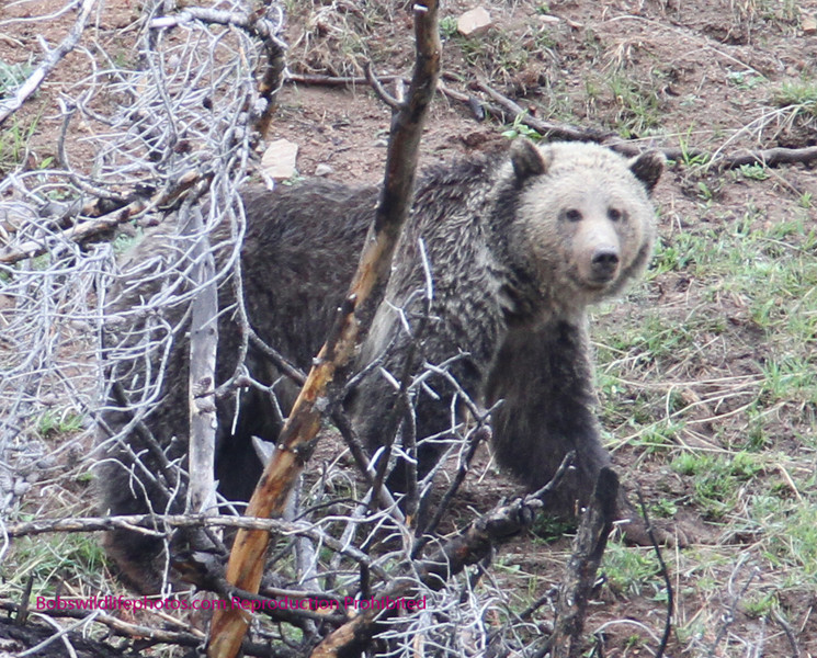 This young griz was photographed at Sedge Bay in YNP