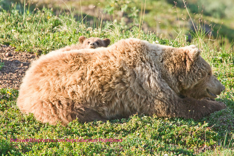Sow with one of two cubs peaking over her back. Denali Alaska