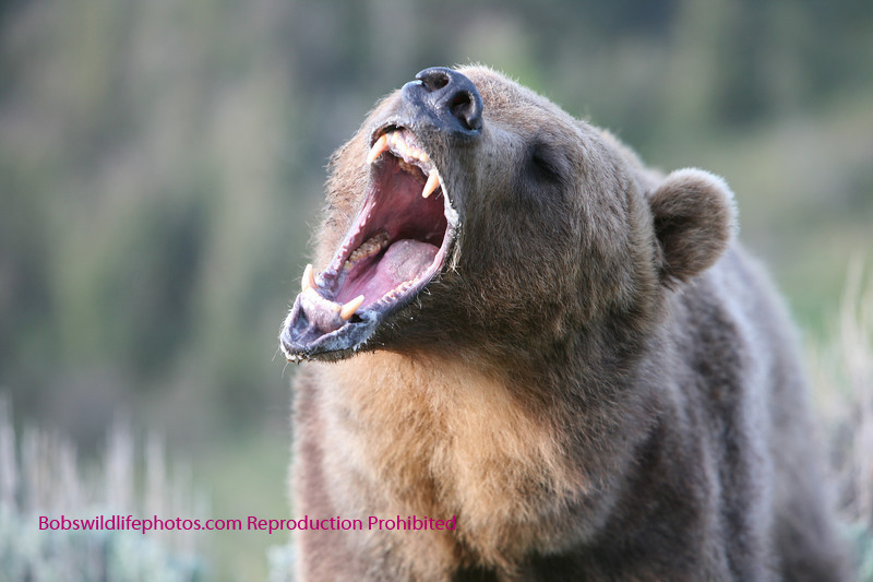 Grizzly open wider.