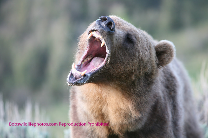 Grizzly - looks like that back molar could use a dentist.