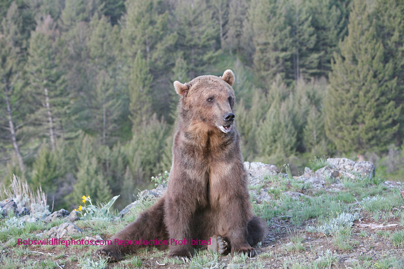 Grizzly pondering what to do next.