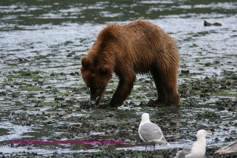 Another photo of the brown bear at valdez