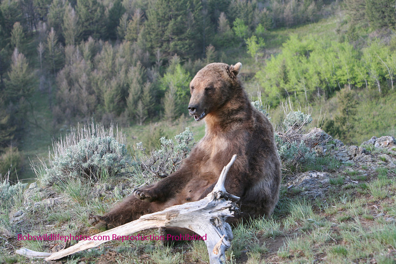Grizzly thinking about taking a break.