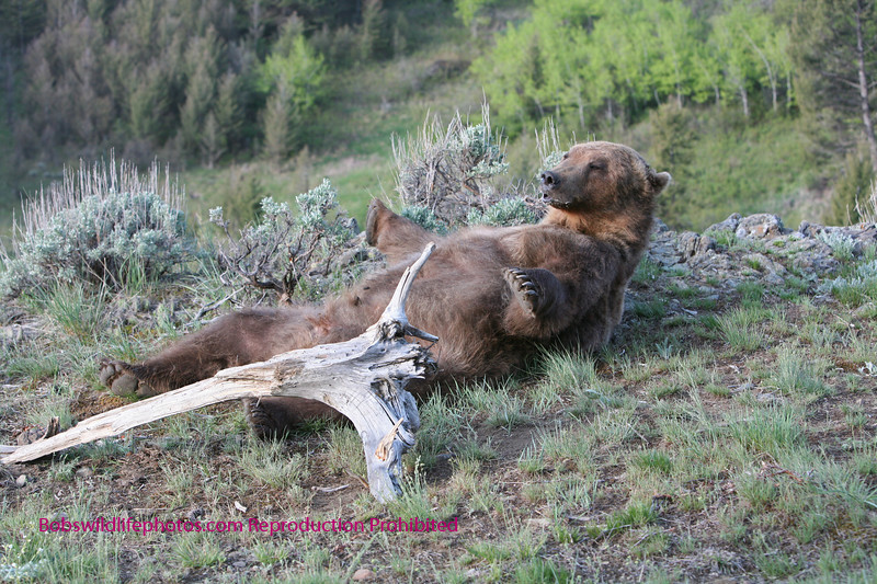Grizzly lying on back.