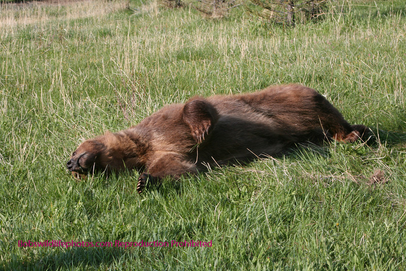 Grizzly taking a nap.