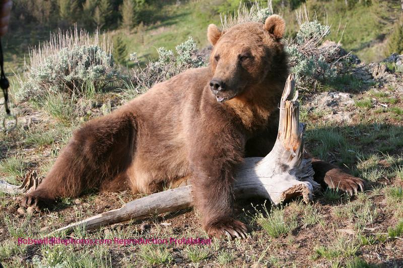Grizzly taking a break.