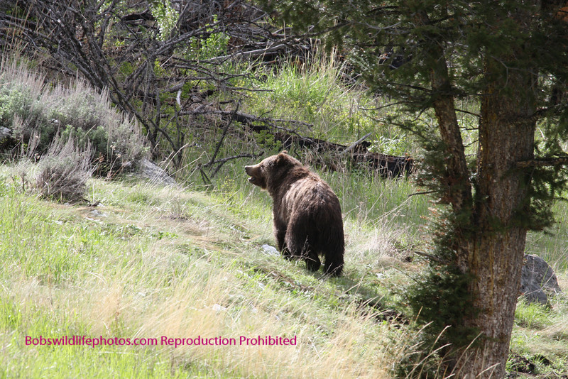 This photo and the next several of a young female grizzly and an old male were taken just east of calcite springs.