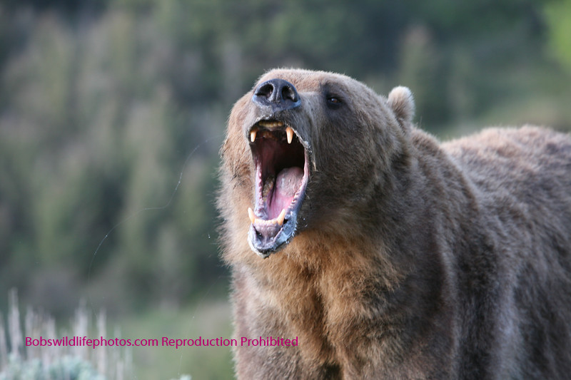 Grizzly with mouth open.