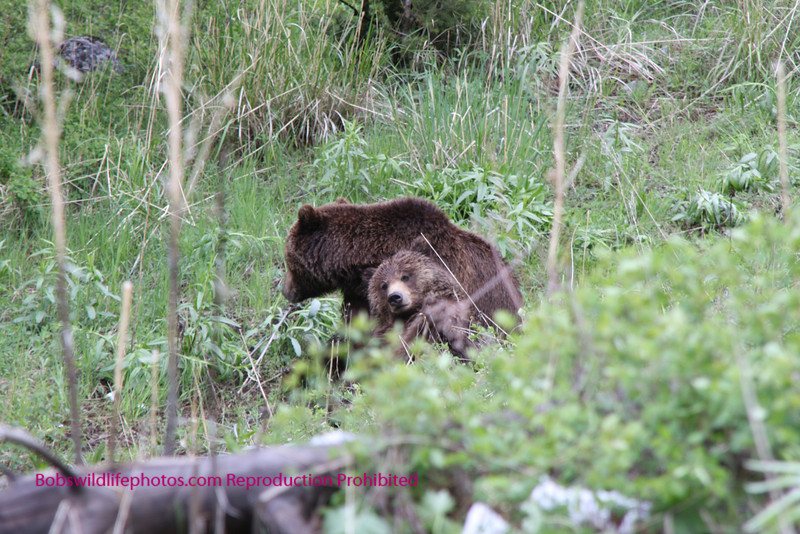 A mating pair of Grizzly seen through the woods.