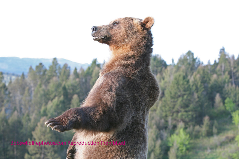 Grizzly standing.