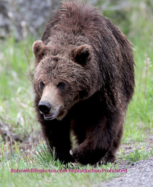 This youn Griz was photographed near Undine falls in YNP. He was eaded toward the Lava Creek picnic area.