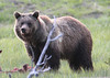 He may be old, but is still a power to be considered. I believe this is the bear that the rangers call quill. He once had a run in with a porcupine.