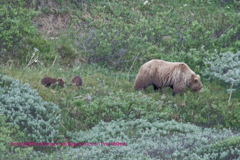 Sow with two cubs Denali Alaska