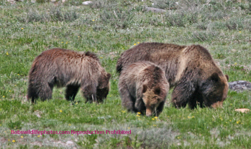 Grizzly sow with three cubs.