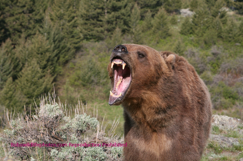 Grizzly showing off his teeth.
