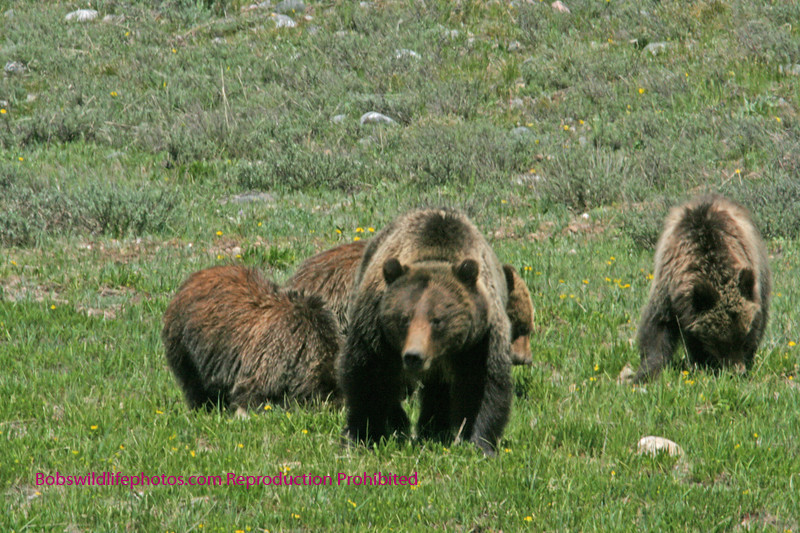 Grizzly sow with three two-year-old cubs. She is an excellent mother to be able to raise all of her cubs to this age.