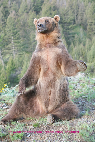 Grizzly sitting upright.