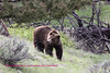 Still trying to catch up with the female who moved off a little while he was napping. This bear has a problem with one of his legs and holds it up as he moves. He still moves pretty fast.