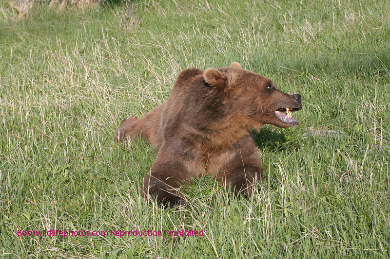 Grizzly lying in grass but very alert.
