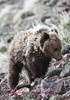 Young grizzly cub above the road going over dunraven pass.