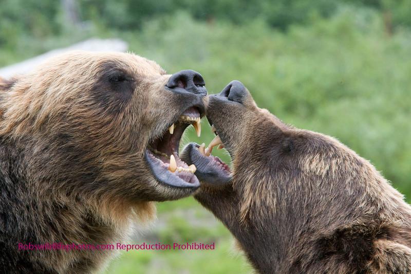 Bears appear to be discussing something. Photo taken in Katmai, Alaska.