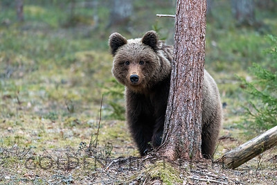 Brown Bear, Lieksa Finland