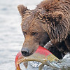 Grizzly with a salmon at Brooks Falls